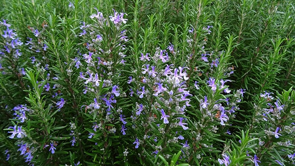 Tinh dầu hương thảo là một loại tinh dầu được sử dụng phổ biến